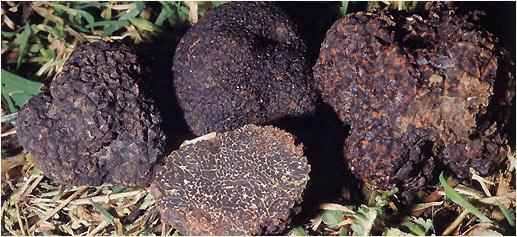 Trufas, uno de los alimentos más caros del mundo