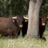 Carne de Retinto. Semental. Fotografía: www.retinta.es